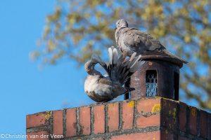 Poetsen op het dak. - Fotograaf: Christien van der Veen