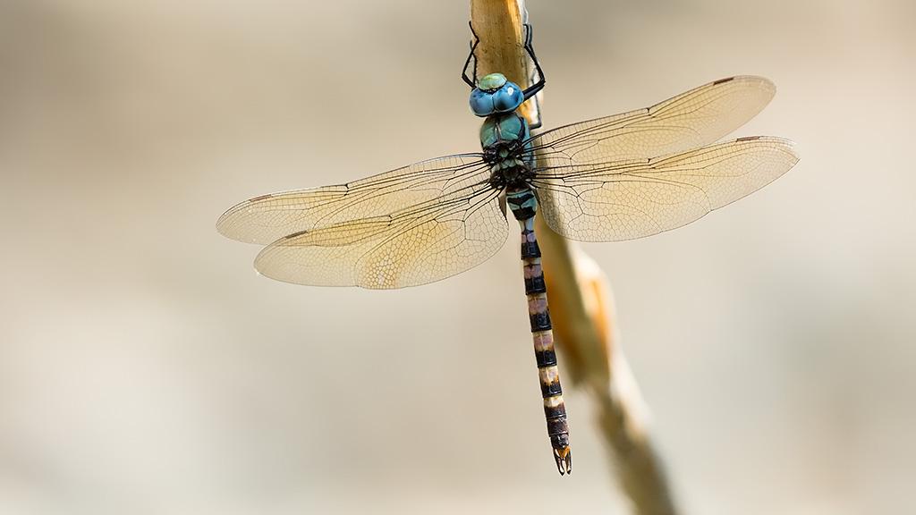Beekkeizerlibel