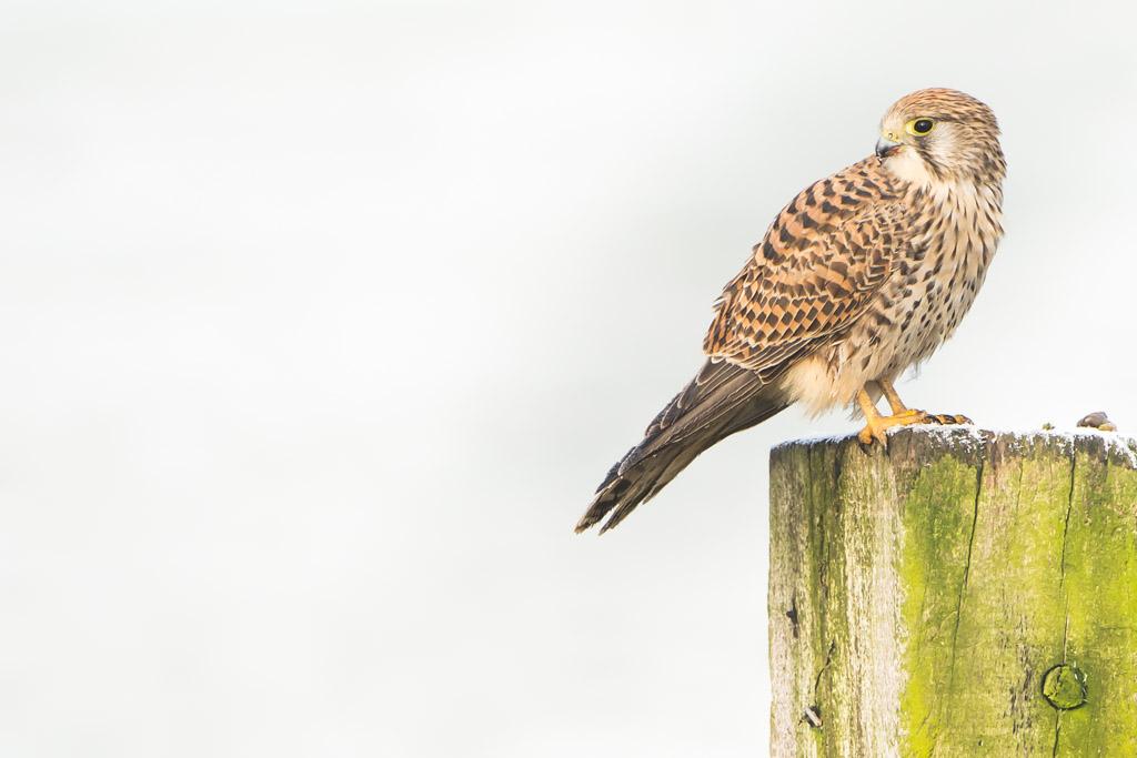 Torenvalk, de biddende roofvogel