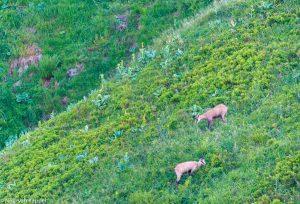 Gemzen op een berghelling tijdens de zomer. - Fotograaf: Nico van Kappel