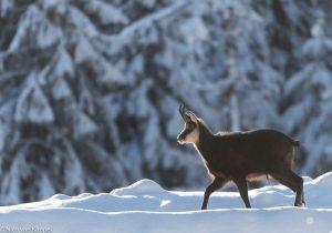Mannetjes gems tijdens de winter Beieren. - Fotograaf: Nico van Kappel