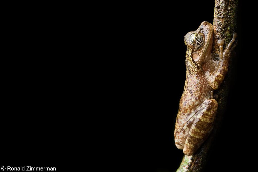 boomkikker van de soort Osteocephalus Oophagus