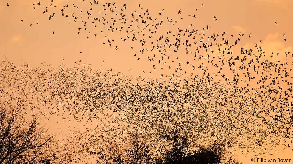 Dood aan alle vleermuizen!