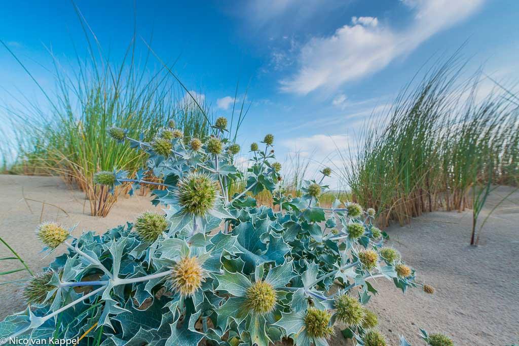 Blauwe zeedistel, een plant van de zeereep