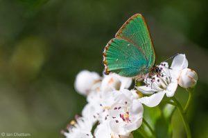 Het groentje voedt zich met nectar van voornamelijk bloeiende struiken. - Fotograaf: Ian Chattam