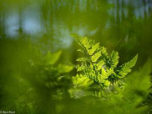 Brede stekelvarens kom je tegen in de ondergroei van het bos. - Fotograaf: Ron Poot