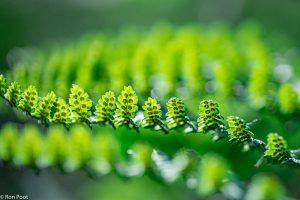 Sporenhoopjes onderaan een blad dat net iets omhoog wipt. Met tegenlicht. - Fotograaf: Ron Poot