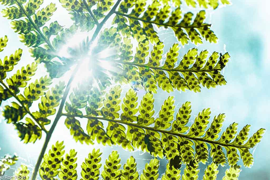 Brede stekelvaren, een oeroude plant