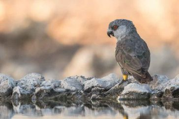 Ruppell's Parrot, Etosha, Namibia