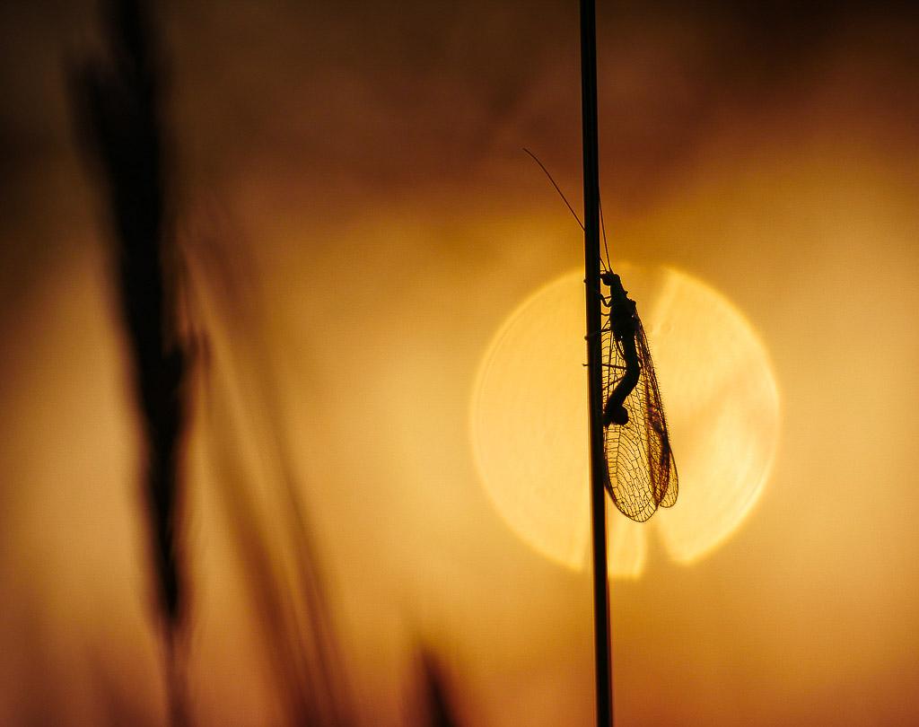 Gaasvlieg in laatste zonlicht