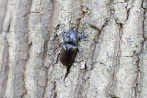 Het vrouwtje is veel kleiner dan het mannetje en mist het