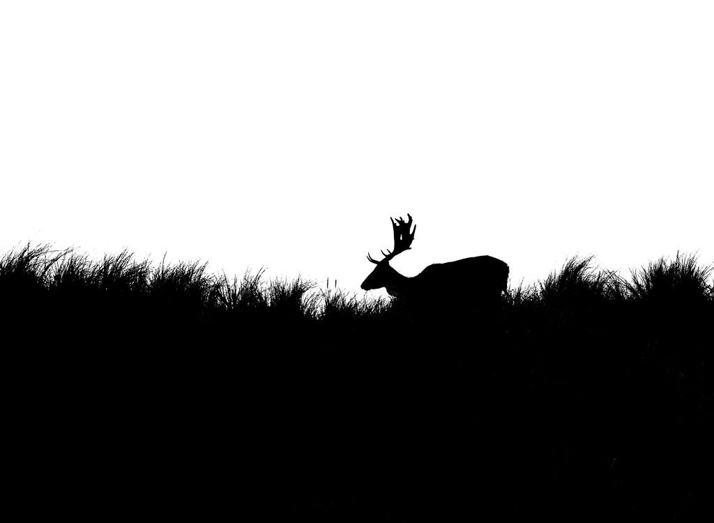 Hert in zwart-wit.