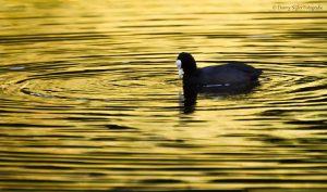 De meerkoet in een gouden gloed. - Fotograaf: Danny Slijfer
