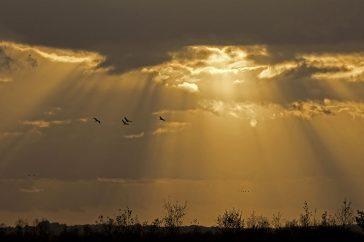 Kraanvogels zonsondergang