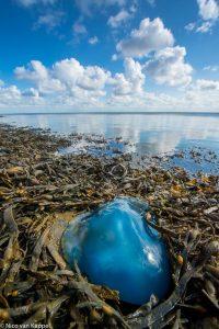 Een zeepaddenstoel aangespoeld langs de kust van de Waddenzee. - Fotograaf: Nico van Kappel