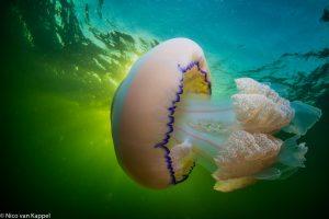 Zeepaddenstoel bij zonsopkomst. - Fotograaf: Nico van Kappel