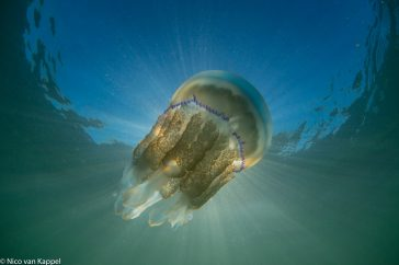 Zeepaddenstoel; barrel jellyfish; rhizostoma pulmo