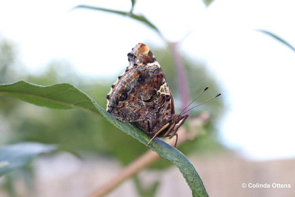 Vlinderen in de achtertuin