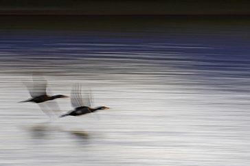 Aalschovers vliegend in de haven. gemaakt met lange sluitertijd en weerkaatsing van kleuren van de boot in het water