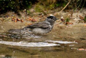 Vogelhutten met een vijver zijn een goede plek om zwartkoppen te fotograferen. - Fotograaf: Bastiaan van Gemert