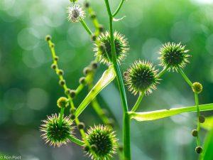 Bloemen en vruchten van grote egelskop. - Fotograaf: Ron Poot