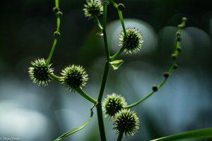 Egelskop bloeiwijze met vruchten, tegenlichtopname. - Fotograaf: Ron Poot