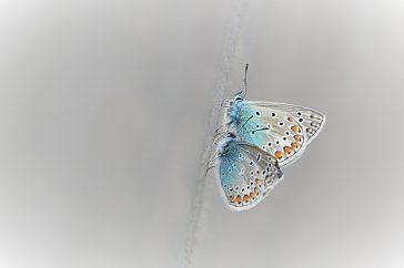 Icarus Blauwtjes