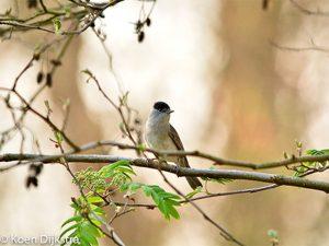 Een lichte plek in de achtergrond kun je gebruiken om de vogel mooi uit te lichten. - Fotograaf: Koen Dijkstra