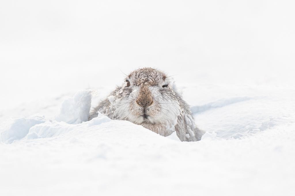 sneeuwhaas, Schotland