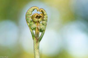 Ontrollend blad van Adelaarsvaren in het voorjaar; Unrolling leaf of Bracken in spring - Fotograaf: Ron Poot