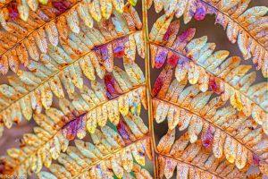 De vele kleuren die verborgen zitten in het varenblad in de herfst. - Fotograaf: Ron Poot