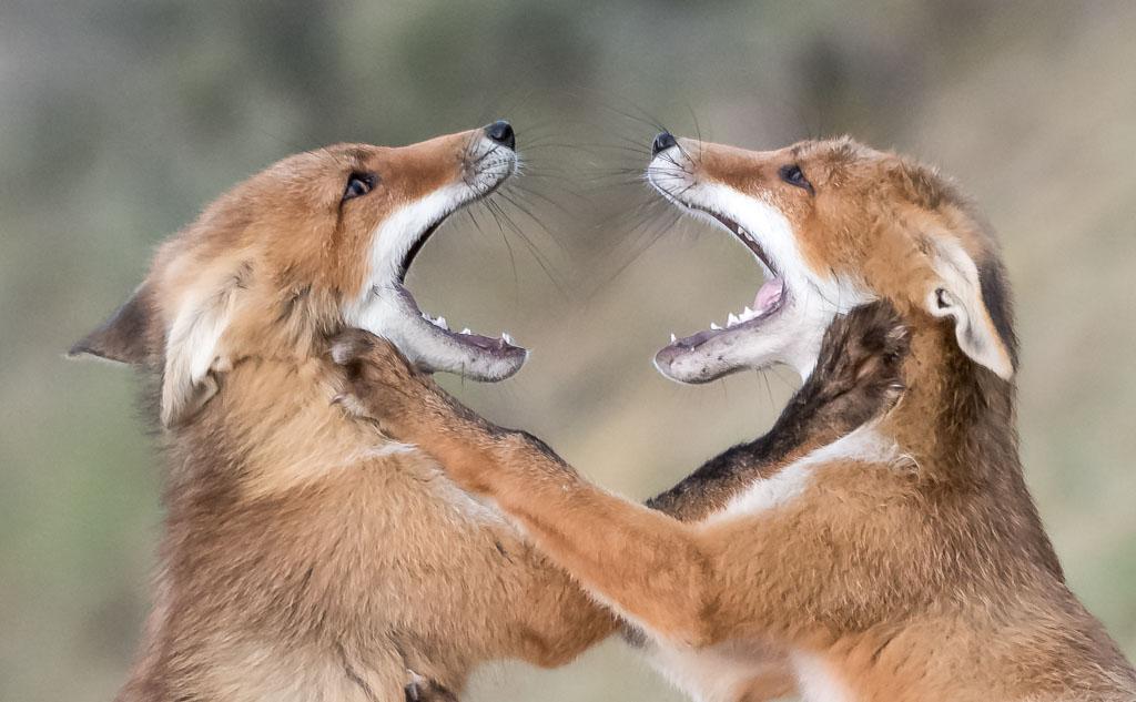 Foxfight broer en zus