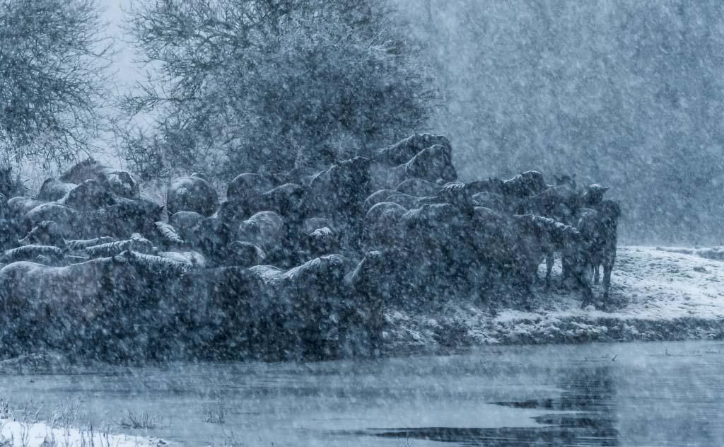 Koninkpaarden winter 2017 Oostvaardersplassen