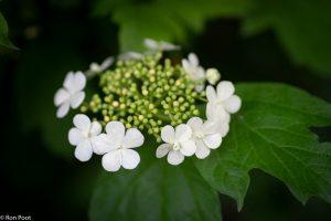 Bloeiwijze van de Gelderse roos. - Fotograaf: Ron Poot