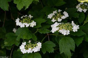 Bloeiwijze van de Gelderse roos in het voorjaar. - Fotograaf: Ron Poot