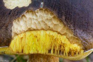 Detail: naaktslakken hebben een deel van de hoed afgevreten en geven een inkijkje. - Fotograaf: Ron Poot