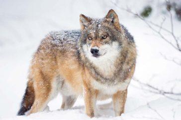 Wolf door Bob Luijks