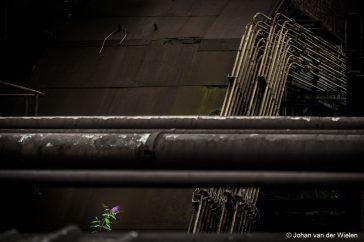 Een bloeiende vlinderstruik  middenin de grote grauwe staalfabriek