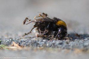 Mieren hebben een belangrijke en onmisbare functie in de natuur, ze ruimen kleine dode beestjes op. - Fotograaf: Christien van der Veen