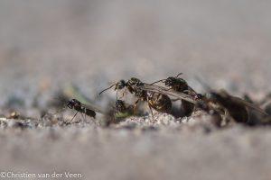 Links een mannetje, die een stuk kleiner is dan de prinsessen. - Fotograaf: Christien van der Veen