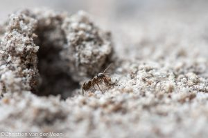Zie je een hoopje zand tussen de tegels Dit is een nestopening van een mierennest. - Fotograaf: Christien van der Veen