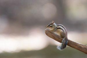 Grondeekhoorns zitten graag op het uiteinde van een tak. - Fotograaf: Bastiaan van Gemert