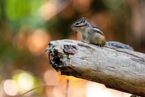 Op de uitkijk, zittend op een boomstam. - Fotograaf: Bastiaan van Gemert