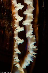 Mossel onderwater, close-up. - Fotograaf: Nico van Kappel