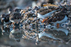 Steenlopers op droogvallend mosselbank. - Fotograaf: Nico van Kappel