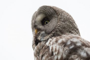 Great Grey Owl Sweden