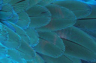 Een voorbeeld van moiré in het verenkleed van een Blauwgele ara
