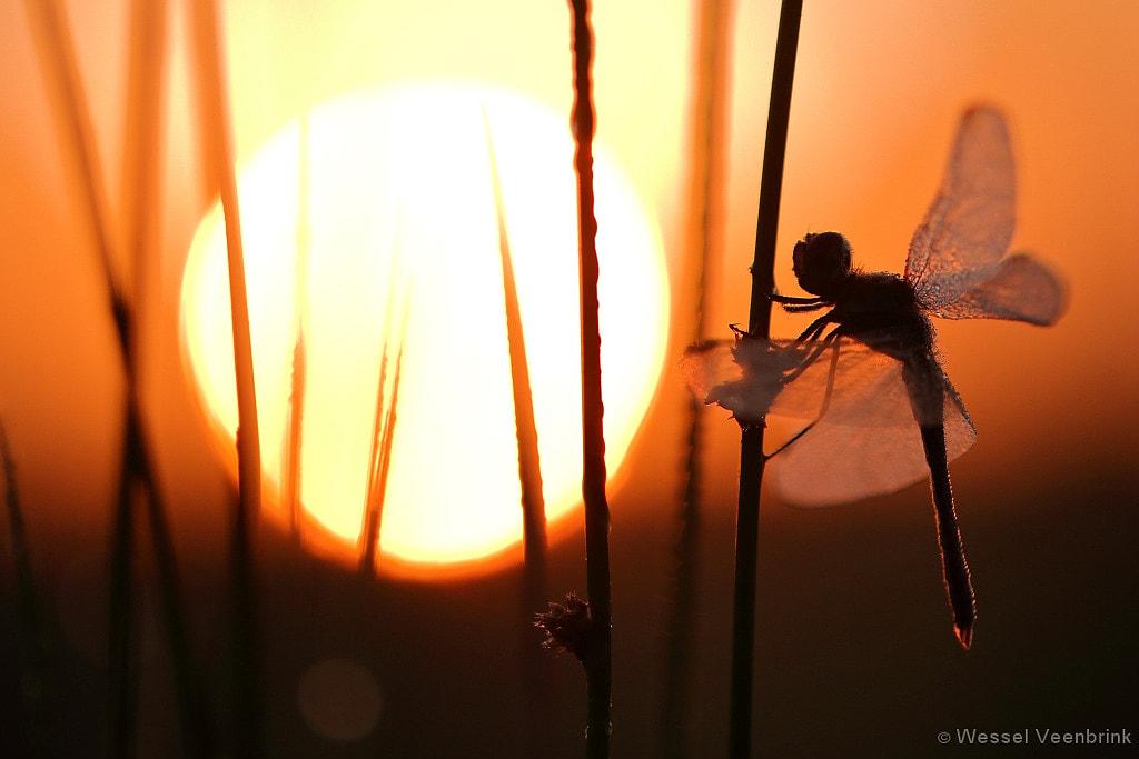 Heidelibel bij zonsopkomst.