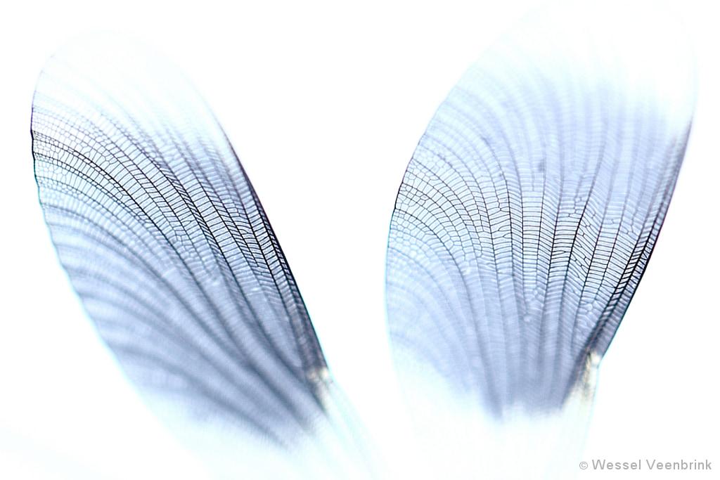 Vleugels van een Weidebeekjuffer