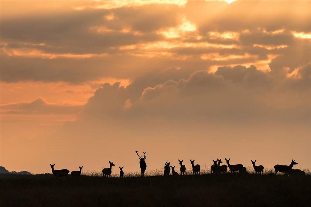 Edelherten bij zonsondergang